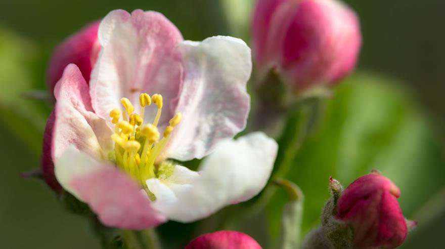 Apfelblüte in Südtirol Eisacktal