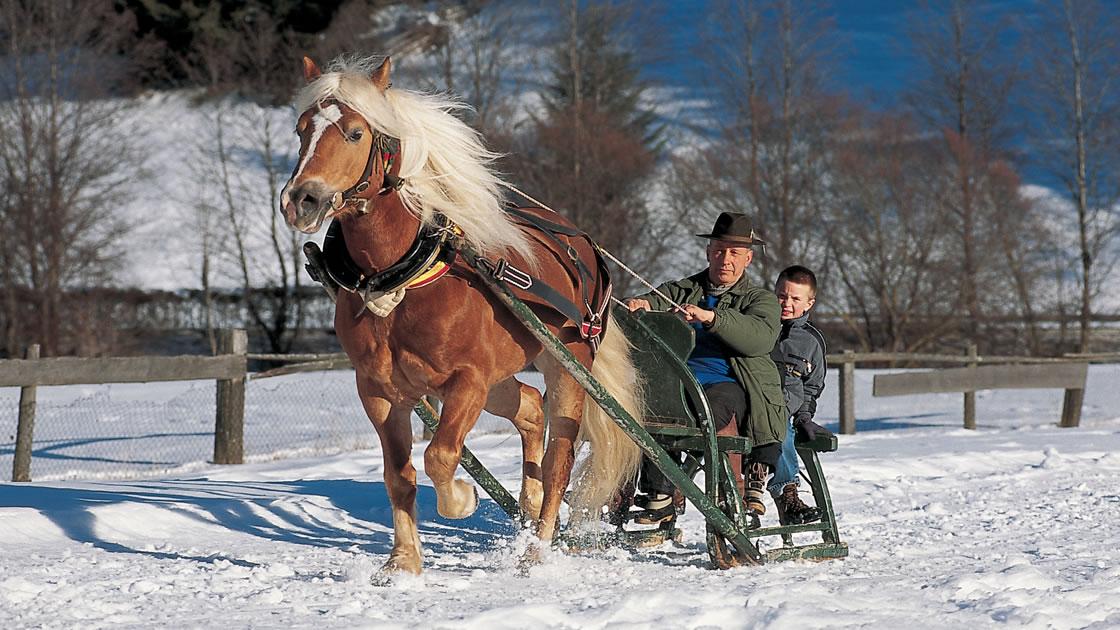 Haflinger Pferde in Südtirol