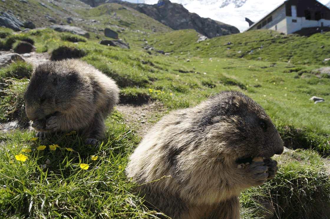 Murmeltiere Alpen, ungestört futtern