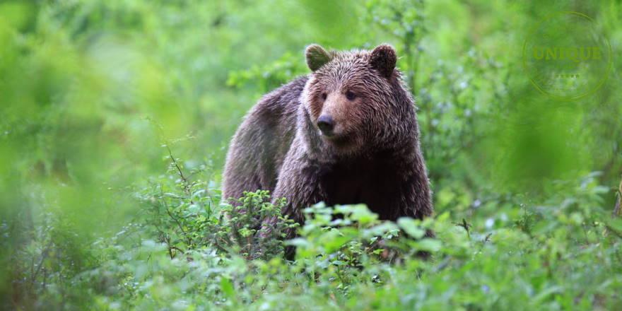 Bären beobschten in Slowenien