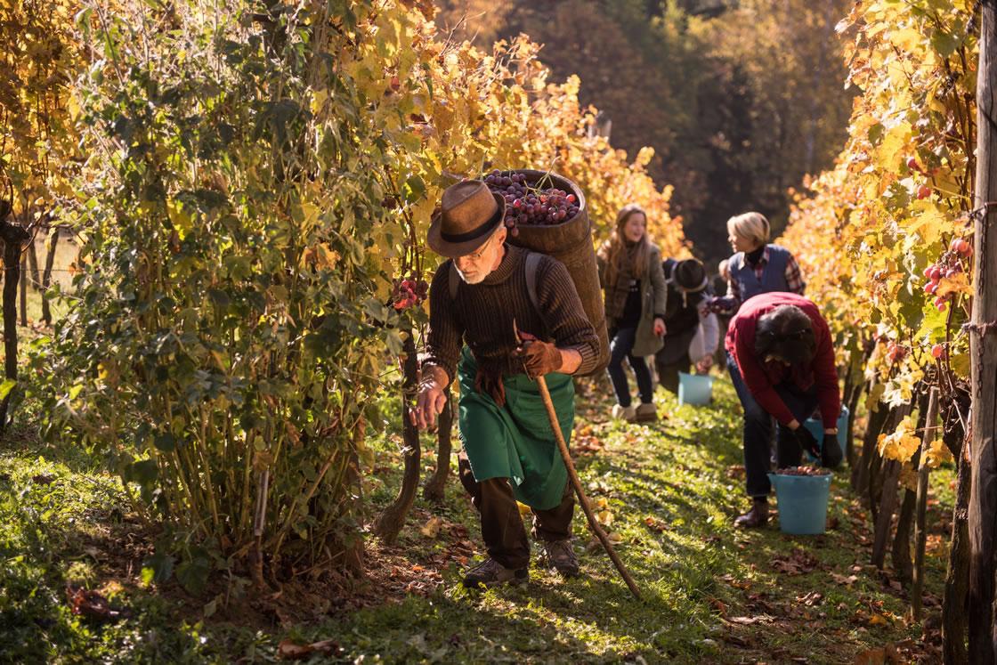 Weine Slowenien, Weinanbauregionen, Weinlese