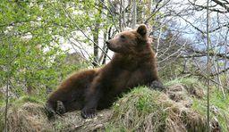 alpen zoo innsbruck  bär