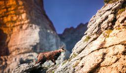 Wildtiere beobachten in den schweizer Alpen